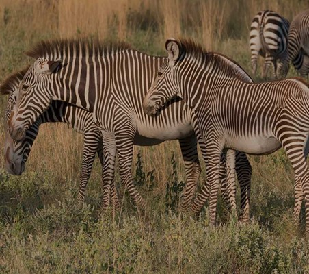 endangered Grevy's Zebra seen here in Samburu on Kenya Safari ©bushtreksafaris