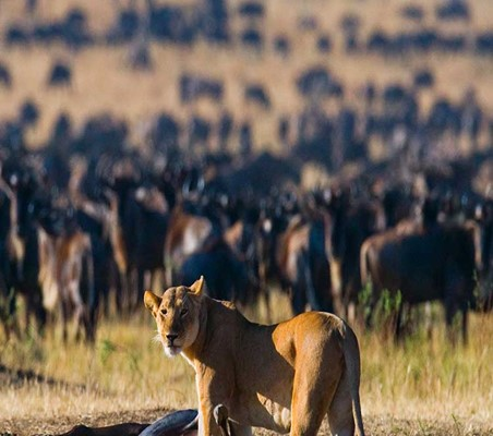 Lioness stands over a Fresh wildebeest hunt during the great migration Kenya safari ©bushtreksafaris
