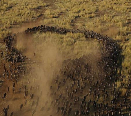 Migrating Blue Wildebeest From Above Dry season maasai mara migration safari spectacular ©bushtreksafaris