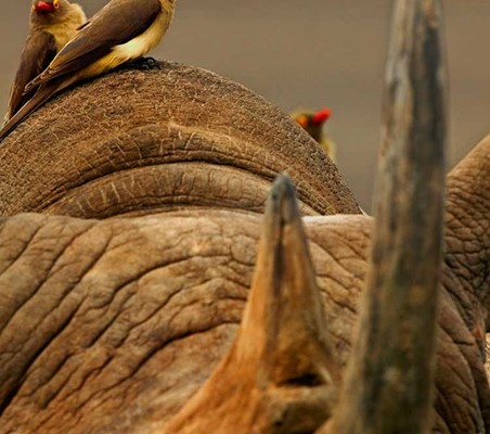 birds rest sit on rhino in Tsavo magnificent closeup photo photography African Safari ©bushtreksafaris