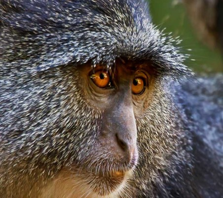 Blue Monkey seen Lake Manyara National park mto wa mbu ©bushtreksafaris