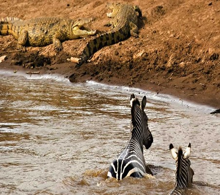 Zebras swim Crossing mara river as Crocodiles wait on the bank the great migration safari ©bushtreksafaris