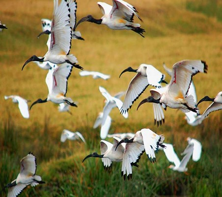 Sacred Ibis can be found in Serengeti Tanzania safari ©bushtreksafaris