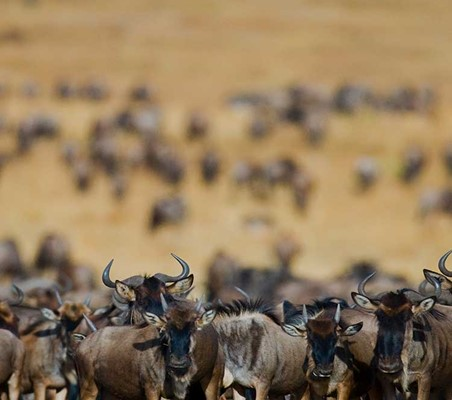 hundreds of Blue Wildebeest Migrating dry season Tanzania safari ©bushtreksafaris