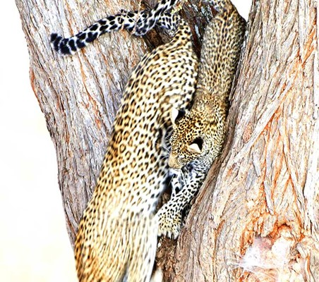 Leopards Running Down Tree Playing
