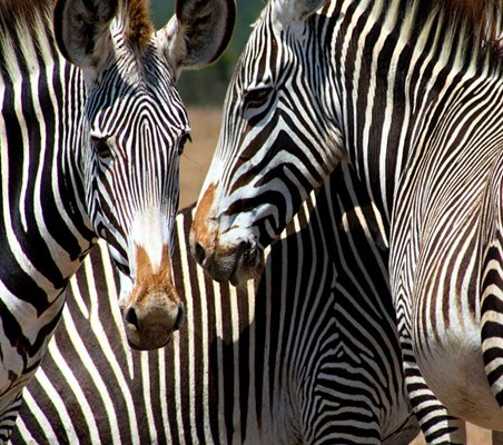 Grevy's Zebras close up encounter African animals Ol Pejeta Conservancy private safari Kenya ©bushtreksafaris