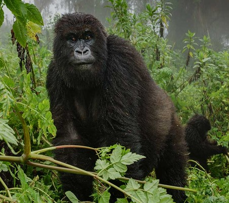 Virunga Gorillas in the mist superb photo on a gorilla tracking safari ©bushtreksafaris