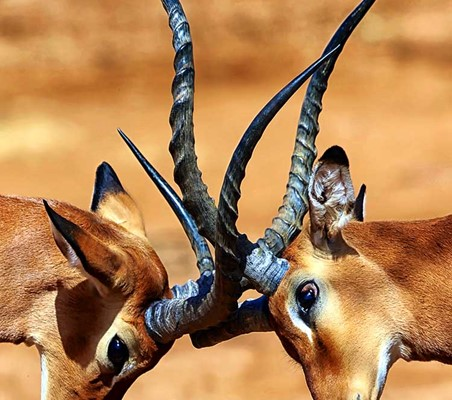 Impala Locking Horns