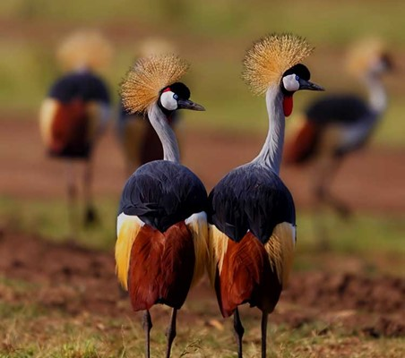 magnificent photo of Crowned Cranes Lake manyara Tanzania bespoke safari ©bushtreksafaris