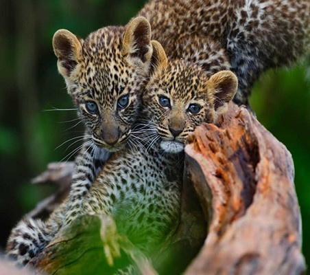 Leopard Cubs On Tree Blue Eyes