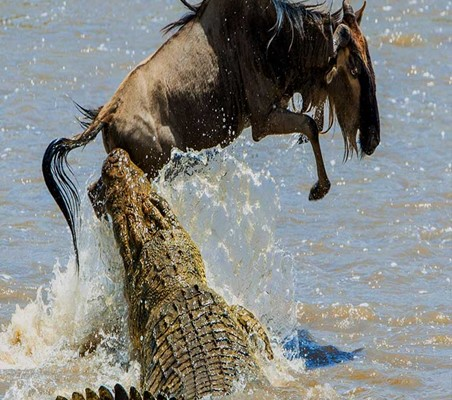 amazing photo of crocodile attacking wading wildebeest in the mara rive Kenya safari ©bushtreksafaris