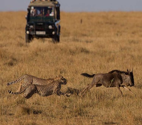 two cheetahs chase a wildebeest excellent hunting photo capture private game safari Kenya ©bushtreksafaris