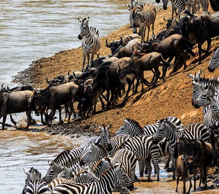 Gnu wildebeest Zebra preparing to cross Mara River migration safari Kenya ©bushtreksafaris