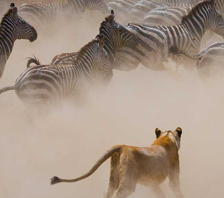 Lion Hunts fleeing Zebra in the Serengeti tanzania photography safaris ©bushtreksafaris