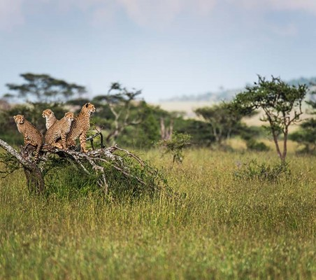 Cheetah Family Perched On Tree Serengeti
